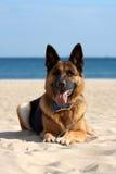 Hond op het strand Stock Foto