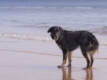 Hond op het strand Royalty-vrije Stock Fotografie