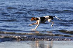 Hond op het strand Royalty-vrije Stock Foto's