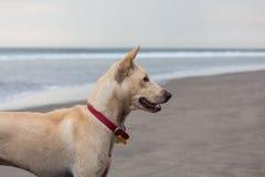 Hond op het strand Royalty-vrije Stock Foto