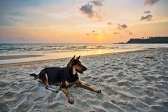 Hond op het strand bij zonsondergang Stock Afbeelding