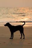 Hond op het strand bij zonsondergang Stock Afbeeldingen