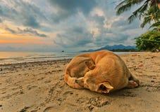 Hond op het strand bij zonsondergang Stock Fotografie