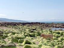 Hond op het strand met rotsen en groen zeewier stock foto