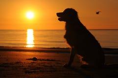 Hond op het strand met zonsondergang Stock Afbeeldingen