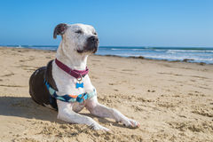 Hond op Jalama-Strand dichtbij Lompoc stock afbeeldingen