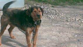 Hond op ketting dichtbij hondehok stock footage