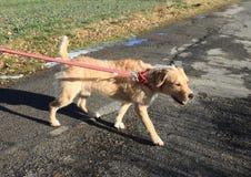 Hond op leiband royalty-vrije stock afbeelding