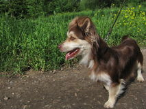 Hond op lood Royalty-vrije Stock Fotografie