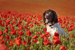 Hond op papavergebieden Stock Afbeeldingen