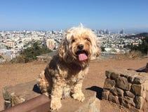 Hond op San Francisco Hill Top stock foto's