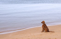 Hond op Strand Stock Foto's