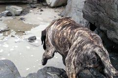 Hond op Strand 4 Stock Afbeelding