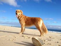 Hond op Strand stock afbeeldingen