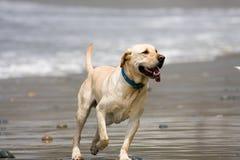 Hond op Strand Royalty-vrije Stock Foto's