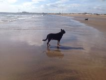 Hond op Strand stock foto