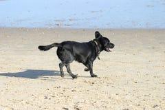 Hond op strand Stock Foto
