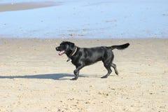 Hond op strand Stock Afbeelding