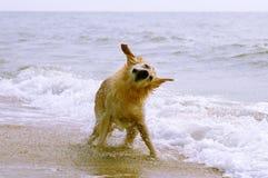 Hond op strand het schudden Royalty-vrije Stock Foto