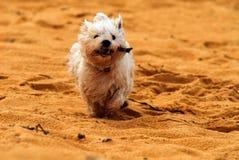 Hond op strand met stok Stock Foto