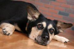 Hond op vloer met poten uit en kijkend gedeprimeerd stock foto's
