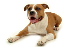 Hond op wit royalty-vrije stock foto's