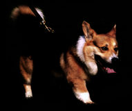 Hond op zwarte Royalty-vrije Stock Afbeeldingen