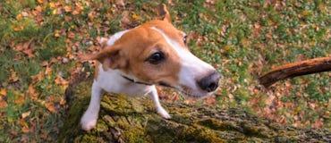 Hond opleiding Dierentrainer Opgeleide hondachtergrond stock fotografie