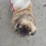 Hond opleiding met maximum Royalty-vrije Stock Foto's