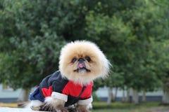 Hond in overall Royalty-vrije Stock Afbeeldingen