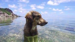Hond in overzees of het water van Indische Oceaan stock video