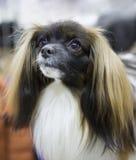 Hond phalene continentaal stuk speelgoed Spaniel stock foto's