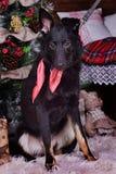Hond pooch met een rode sjaal rond zijn hals op Kerstmis backgr royalty-vrije stock foto