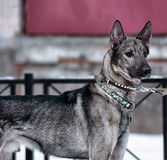 hond pooch op een leiband in de winter royalty-vrije stock foto