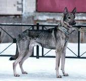 hond pooch op een leiband in de winter stock foto