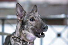 hond pooch op een leiband in de winter royalty-vrije stock fotografie
