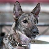 hond pooch op een leiband in de winter royalty-vrije stock afbeeldingen