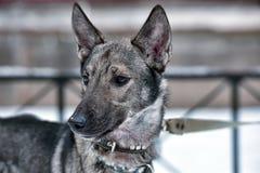 hond pooch op een leiband in de winter royalty-vrije stock foto's