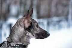 hond pooch op een leiband in de winter stock afbeelding