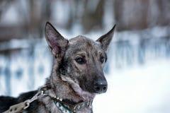 hond pooch op een leiband in de winter stock fotografie