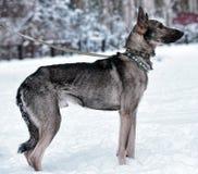 hond pooch op een leiband in de winter stock afbeeldingen