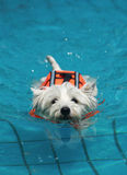 Hond in pool Stock Foto