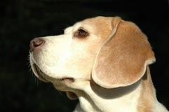 Hond in profiel royalty-vrije stock fotografie