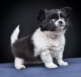 Hond Ras - Chihuahua Royalty-vrije Stock Afbeelding