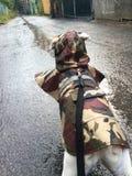Hond in regenjas die onderaan een regenachtige weg kijken Stock Fotografie