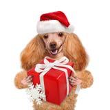 Hond in rode Kerstmishoeden met gift stock afbeeldingen