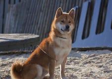 Hond-rode shiba op de strandboulevard stock fotografie