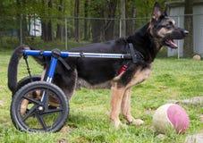 Hond in rolstoel II Royalty-vrije Stock Foto's