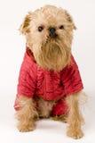 Hond in rood jasje Royalty-vrije Stock Afbeeldingen