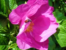 Hond-roze bloem Royalty-vrije Stock Afbeelding